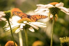 A monarch butterfly and white daisy flowers stock photography