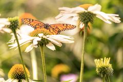 A monarch butterfly landing in a white flower stock photos