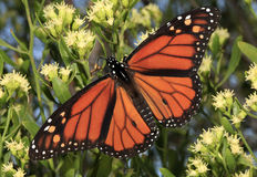 Monarch Butterfly on White Flowers. A Monarch Butterfly with wings spread making a stop over in Florida on it's migration south royalty free stock image