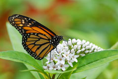Monarch butterfly on white flowers. With a green and red background stock photos