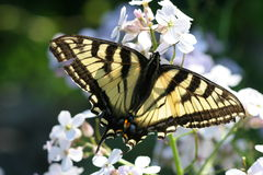 Monarch Butterfly on White Flowers. Large Butterfly on white flowers royalty free stock photography