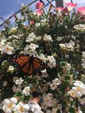 Monarch Butterfly on White Flowers. A monarch butterfly is a pretty contrast against white flowers stock images