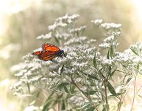 Monarch butterfly white wildflowers royalty free stock image