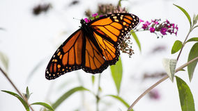 Monarch Butterfly In Whte Background Wings Spread With Purple. Flowers Royalty Free Stock Photography