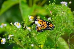 Monarch butterfly on wild fleabane wildflower. Erigeron; fleabane wildflower attracts a fluttering Monarch Butterfly. Copyspace. Orange & black butterfly found royalty free stock photos