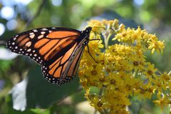 Monarch butterfly in the wild royalty free stock image