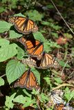 Monarch butterfly in the wild stock photos