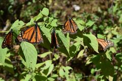 Monarch butterfly in the wild stock image