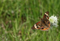 Buckeye Butterfly on Wildflower Border. A beautiful Buckeye butterfly sits on top of a white wildflower in a green grassy country field. Can be used as a stock photos