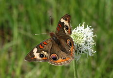 Buckeye Butterfly on Wildflower. Close-up of a beautiful Buckeye butterfly, with wings spread, sitting on top of a white wildflower in a green grassy country stock photos