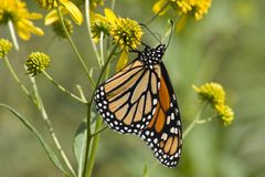 Monarch Butterfly on Wildflowers. Monarch Butterfly on Yellow Wildflowers Royalty Free Stock Photo