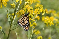 Monarch Butterfly on Wildflowers. Monarch Butterfly on Yellow Wildflowers Stock Image