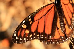 Monarch Butterfly Wing. Close up of a Monarch butterfly's wing Royalty Free Stock Image