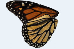 Monarch butterfly wing Royalty Free Stock Photos