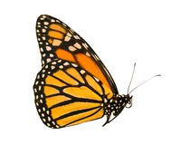 The monarch butterfly with wings closed is isolated on white background. An orange-colored monarch butterfly, Danaus plexippus, is sitting with wings closed stock image