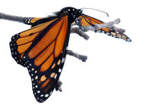 Monarch butterfly with wings down Royalty Free Stock Image