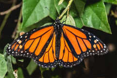 Monarch Butterfly wings open Royalty Free Stock Photography