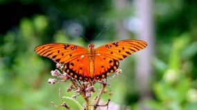 Monarch Butterfly with Wings Spread. This orange and black monarch butterfly has its wings spread as it gets nectar from the flower of a milkweed plant growing stock image