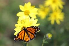 Monarch Butterfly on Woodland Sunflowers. Monarch Butterfly (danaus plexippus) on Woodland Sunflowers (Helianthus divaricatus royalty free stock photo
