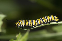 Monarch butterfly (Danaus plexippus) caterpillar Stock Image