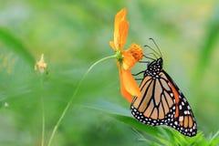 The Monarch Stock Photos
