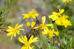 Monarch butterfly on yellow daisies Royalty Free Stock Photos