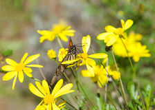 Monarch butterfly on yellow daisies Royalty Free Stock Images