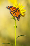 Monarch Butterfly. On a Yellow Daisy Flower royalty free stock photography