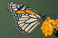 Monarch butterfly on yellow flower. With green background Stock Image