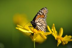 Monarch Butterfly Yellow Flower Stock Images