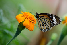 Monarch Butterfly. Monarch Butterfly On A Yellow Flower royalty free stock photography