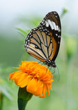 Monarch Butterfly. Monarch Butterfly On A Yellow Flower stock image
