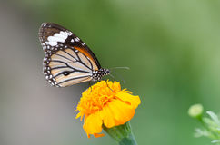 Monarch Butterfly. Monarch Butterfly On A Yellow Flower stock photo