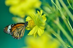 Monarch Butterfly on yellow Flower Stock Photo