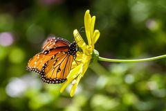 Monarch butterfly on yellow flower, with green background. Monarch butterfly Danaus plexippus perched on yellow flower, in Arizona`s Sonoran desert stock image