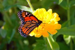 Monarch Butterfly on a yellow flower. A monarch butterfly lands on a yellow flower in a garden stock photo