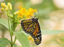 Monarch butterfly. On yellow flowers stock photos