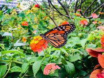 Butterfly on a flower. Monarch butterfly on yellow and orange lantana flower covered in pollen royalty free stock photos