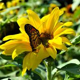 Monarch butterfly in Yellow sunflower on Fall day in Littleton, Massachusetts, Middlesex County, United States. New England Fall. New England fall foliage stock photography
