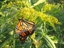 Monarch Butterfly on Yellow Wildflowers. Taken in Irondequoit, NY Stock Photos