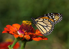 Monarch Butterfly on Zinnia. Photograph of a Monarch Butterfly feeding on the nectar of a zinnia in a butterfly garden Royalty Free Stock Photo