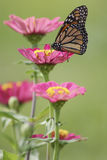 Monarch butterfly on zinnia. Monarch butterfly perched on pink tiered zinnia Royalty Free Stock Photos