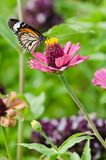 Monarch butterfly on Zinnia flower. Monarch butterfly on pink Zinnia flower royalty free stock photography