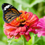 Monarch butterfly on Zinnia flower Stock Photos