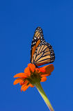 Monarch Butterfly on Zinnia Royalty Free Stock Photography