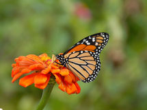 Monarch Butterfly on Zinnia Stock Images