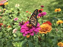 Monarch butterfly on Zinnias stock image