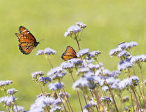 Monarch Butterflys Royalty Free Stock Image