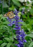 Monarch BUtterlfy - Danaus plexippus - and Salvia farinacea. Monarch BUtterlfy Danaus plexippus feeding on the nectar of Salvia farinacea flowers Royalty Free Stock Images