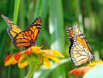 Toronto Lake The Monarch Butterflies on Mexican Sunflowers 2016. The Monarch Butterlies on Mexican Sunflowers in garden on a shore of the Lake Ontario in Toronto royalty free stock photo